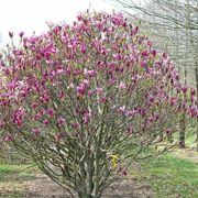 Magnolia susan fiorita
