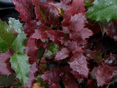Colorazione delle foglie di mahonia