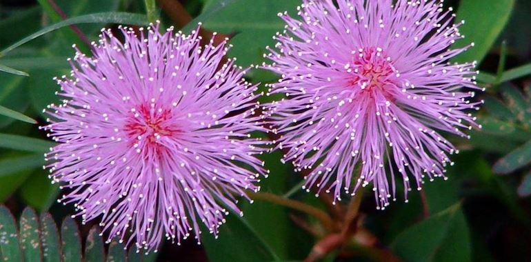 <h6>Mimosa pudica</h6>La mimosa pudica presenta un fiore dal colore rosa acceso con piccoli steli. Scopri come coltivarla e prendertene cura!