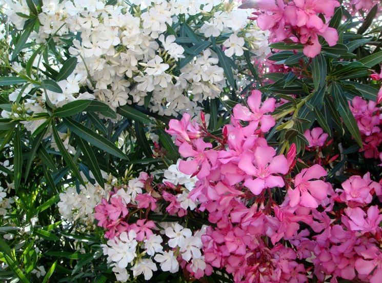 oleandro bianco e rosa