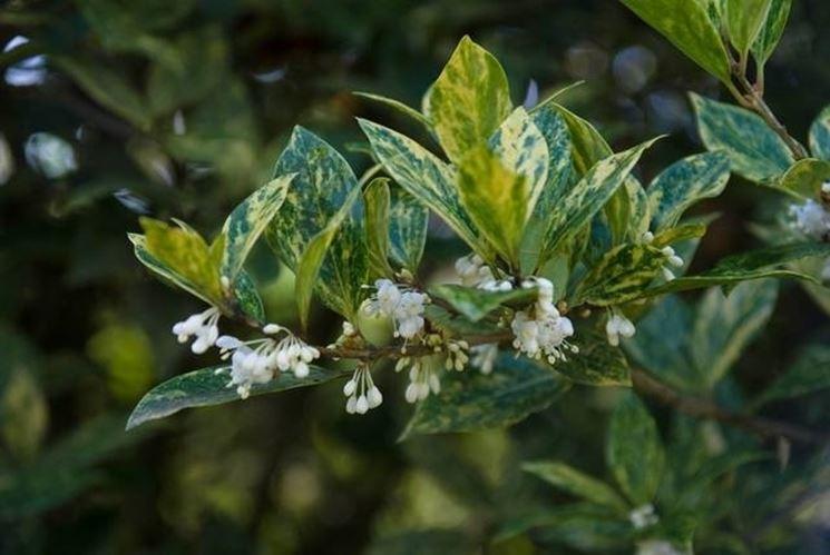 Fiori di osmanthus con foglie