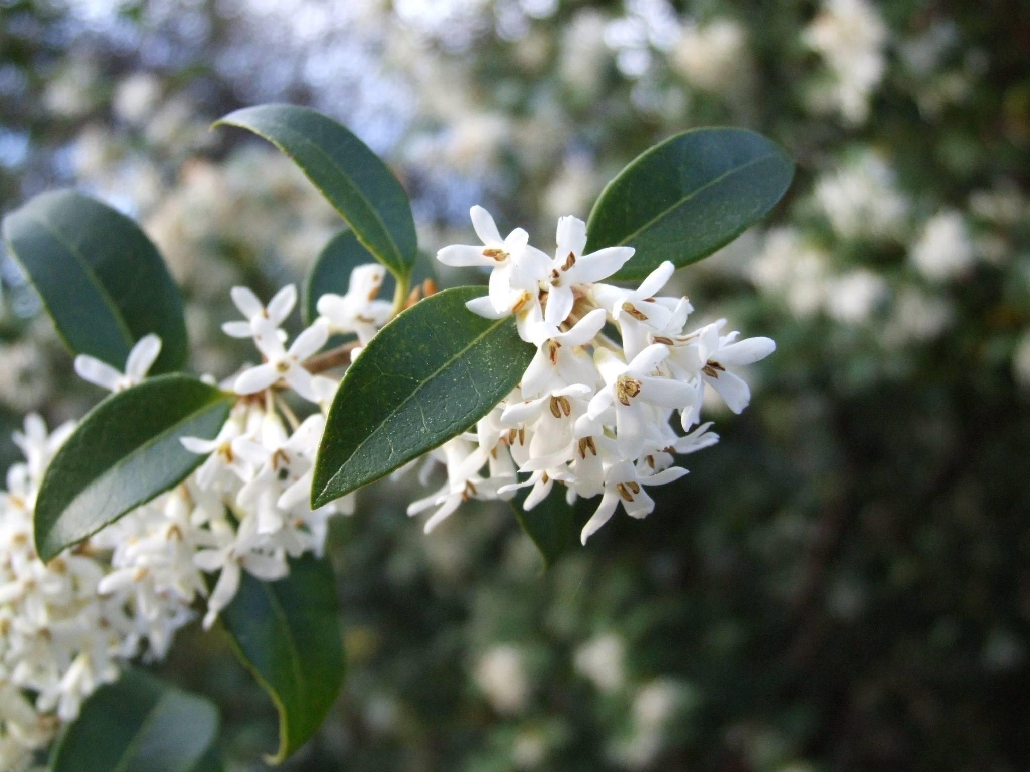 Osmanthus aquifolium piante da giardino - Osmanthus siepe ...