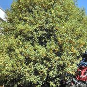 un osmanthus fragrans all'approssimarsi dell'autunno  fonte: http//2.bp.blogspot.com