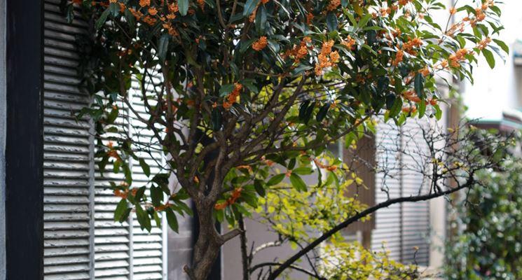 la pianta cresciuta e posizionata vicino la finestra, per regalare agli interni della casa il suo profumo