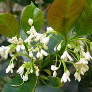 Fiore di osmantus