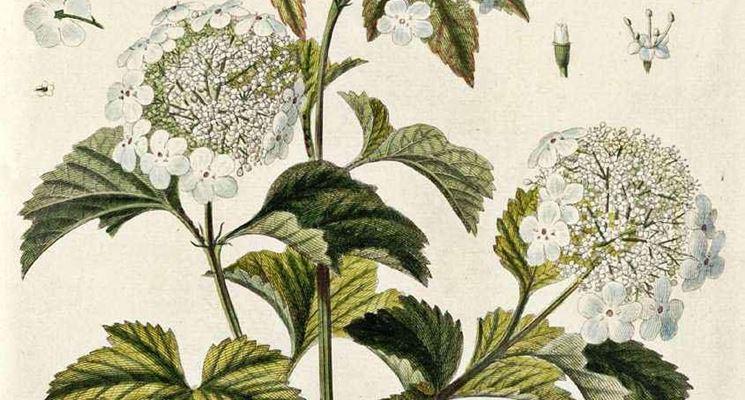 Disegno botanico del viburnum opulus, o palla di neve
