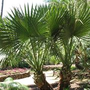 Albero di palma nana.