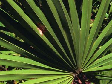 Palma nana.