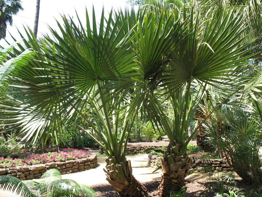 Palma nana piante da giardino palma nana for Piante alte da giardino