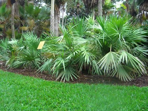 Palma nana piante da giardino palma nana - Costo palma da giardino ...