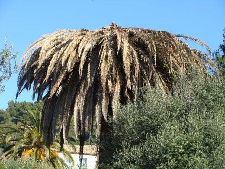 palma infestata dal punteruolo rosso