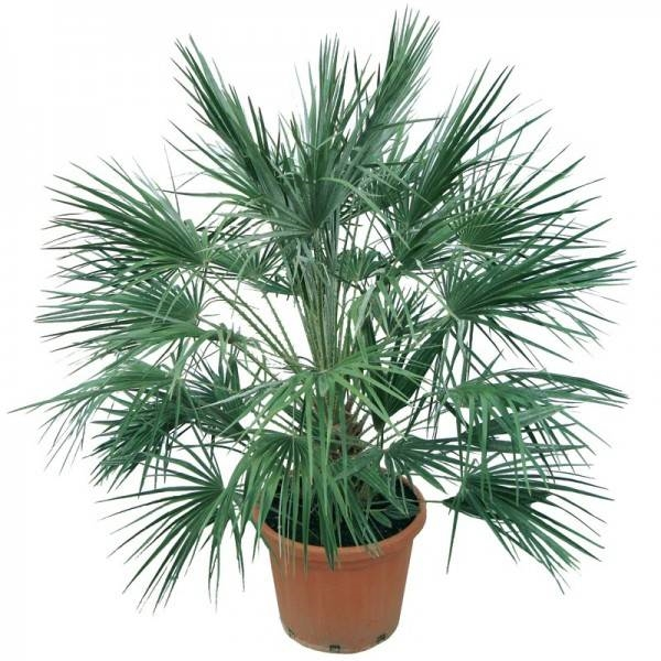 Palma pianta piante da giardino palma pianta for Palma pianta