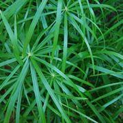 papiro cyperus alternifolius
