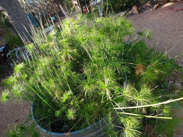 pianta del papiro