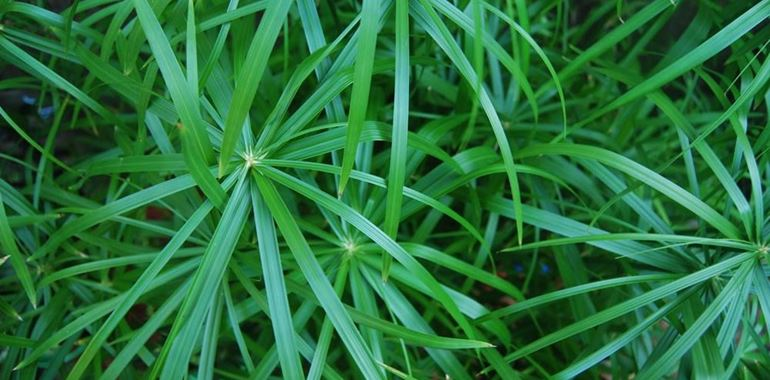 <h6>Papiro pianta</h6>La parola papiro ci richiama subito alla mente l�antico Egitto. Scopri come si coltiva la pianta di papiro, quali malattie pu� manifestare e come curarla