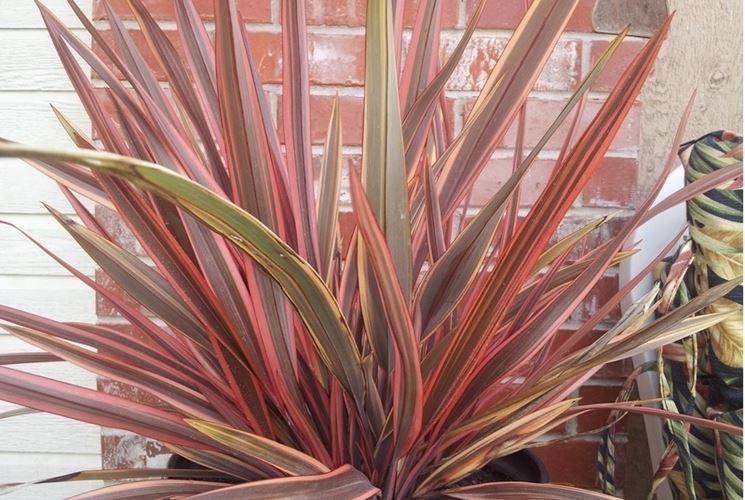 Phormium pianta