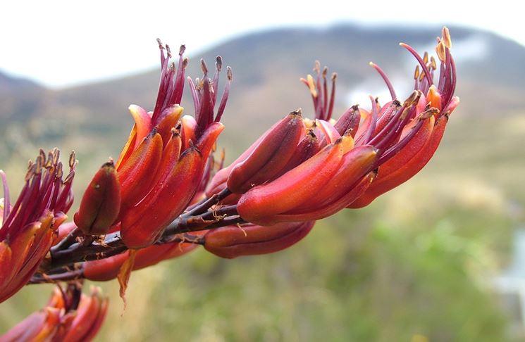 Phormium fiore