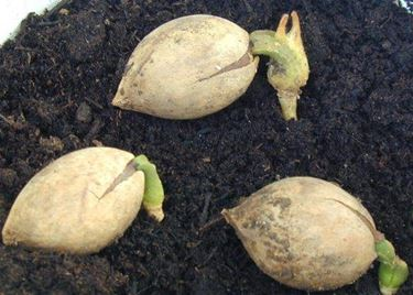 I semi della cycas
