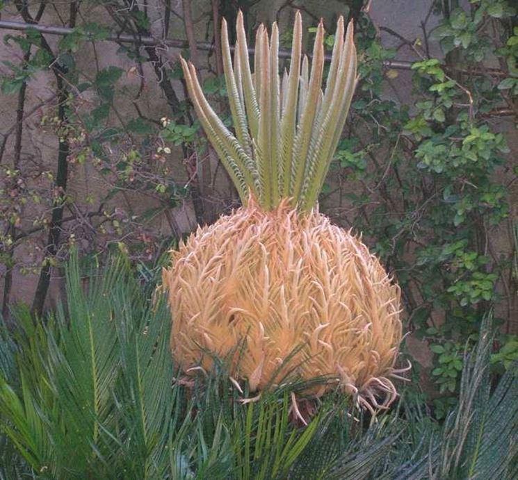 Una pianta cycas