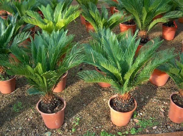 Pianta cicas piante da giardino coltivare la pianta cicas for Piante nane da esterno