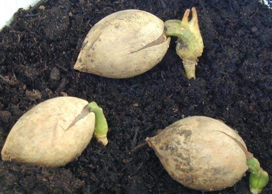 Pianta cicas piante da giardino coltivare la pianta cicas for Pianta pistacchio prezzo