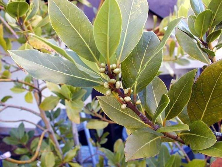 Particolare delle foglie di pianta di alloro