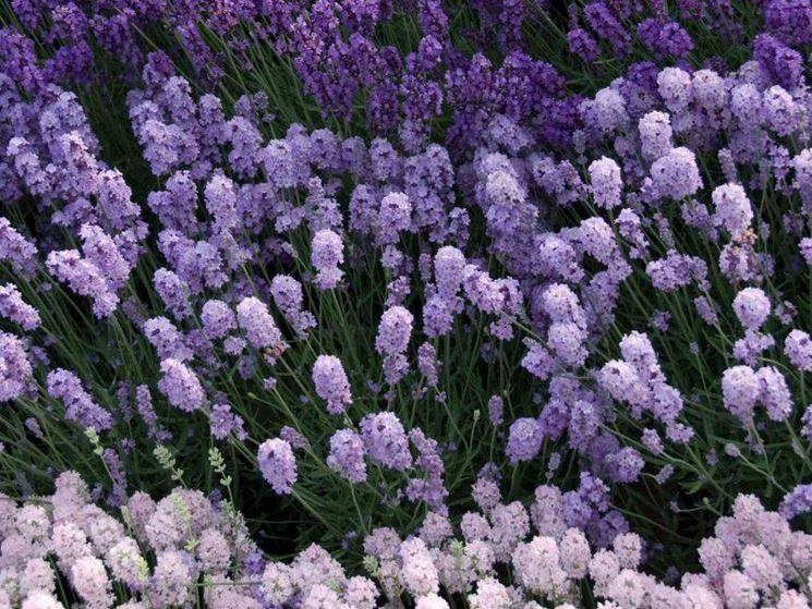 Pianta sempreverde piante da giardino caratteristiche - Azalee da esterno ...