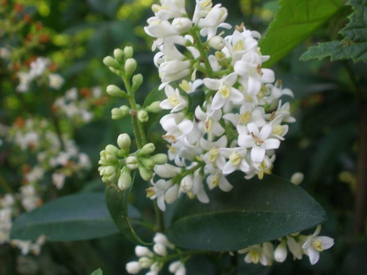 Pianta sempreverde piante da giardino caratteristiche for Fiori sempreverdi da giardino