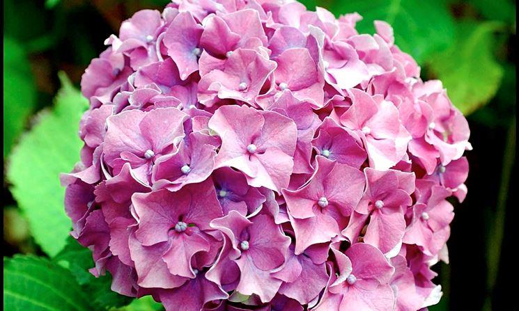 Ortensia rosa