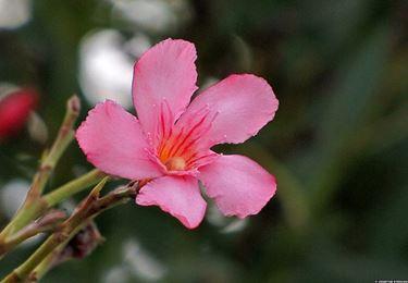 Piante fiorite piante da giardino for Oleandro riproduzione