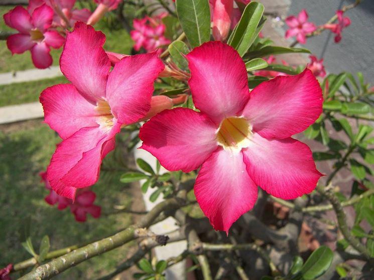 fiore oleandro