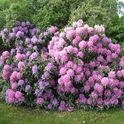 Piante invernali: il rododendro