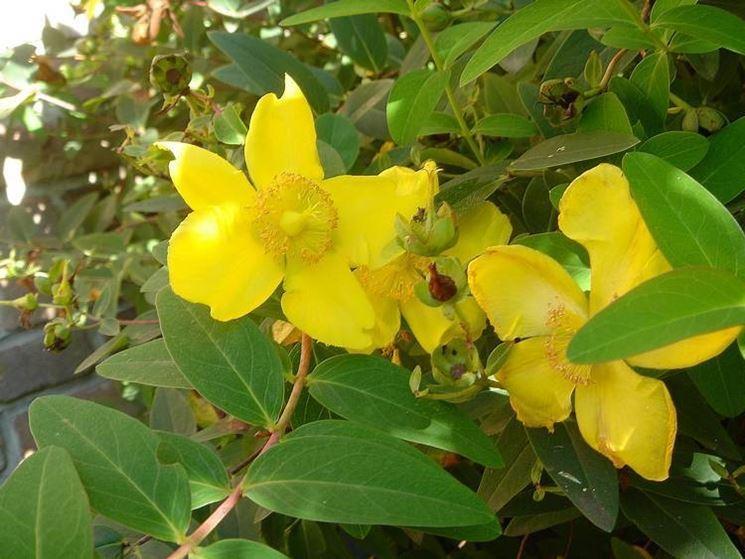 Piante per aiuole piante da giardino aiuole piante for Piante da cespuglio