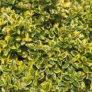 Golden Euonymus