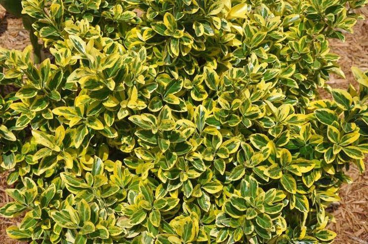 Piante sempre verdi piante da giardino caratteristiche for Piante sempreverdi per giardino