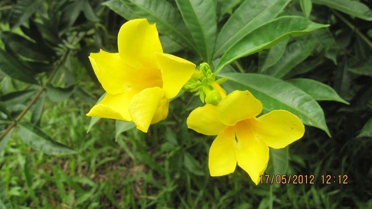 Allamanda in fiore