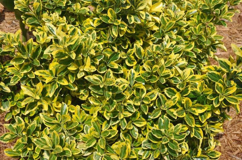 Piante sempre verdi piante da giardino caratteristiche for Piante verdi perenni da giardino