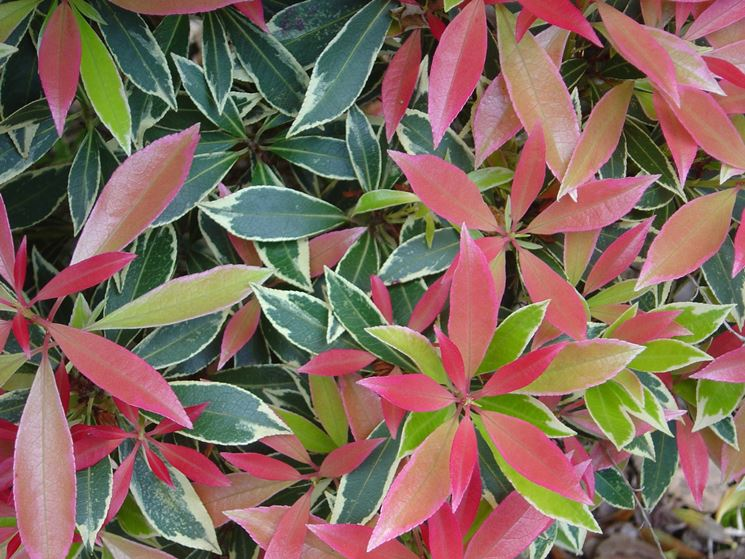 pieris <strong>japonica</strong> variegato