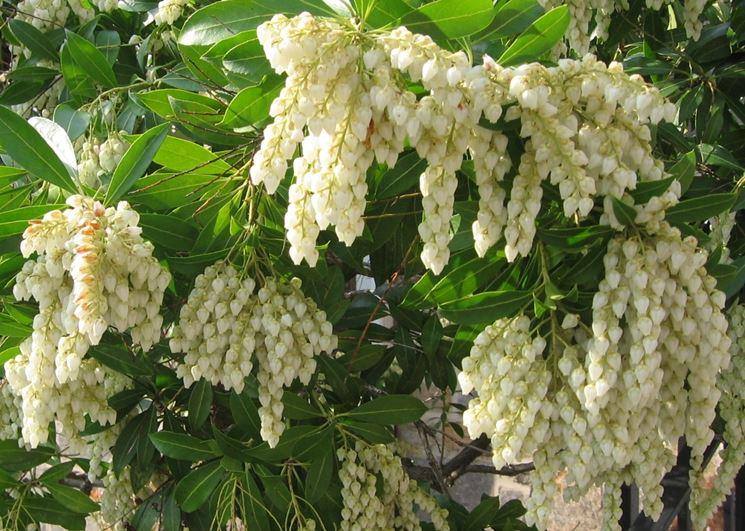 pieris japonica fiore