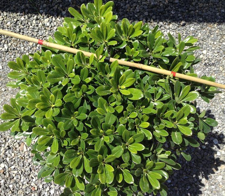 Pitosforo nano piante da giardino caratteristiche del - Piante da giardino sempreverdi a cespuglio ...