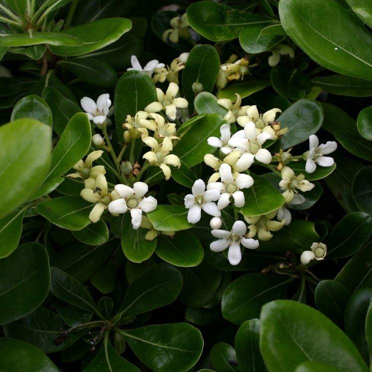 Pitosforo nano piante da giardino caratteristiche del for Piante da giardino alte 2 metri