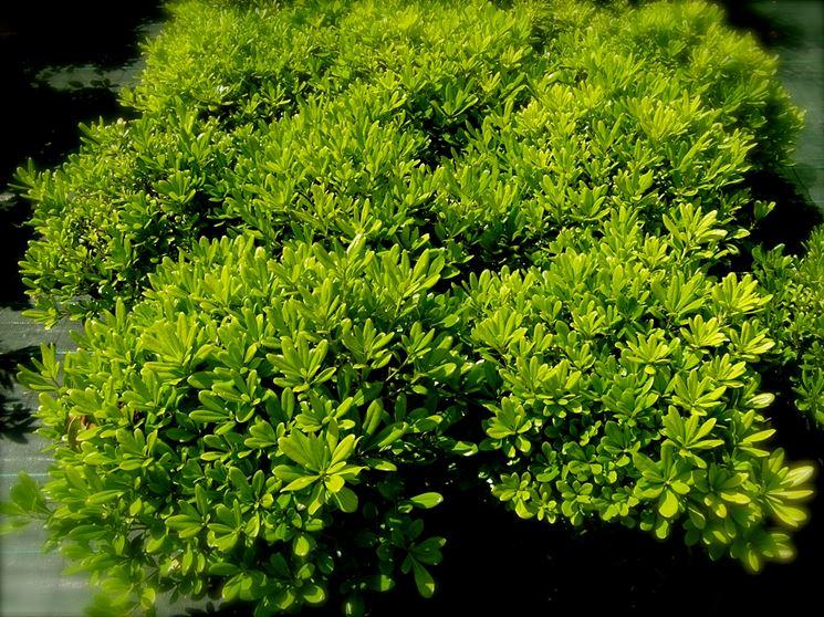 Pitosforo nano piante da giardino caratteristiche del for Pitosforo siepe