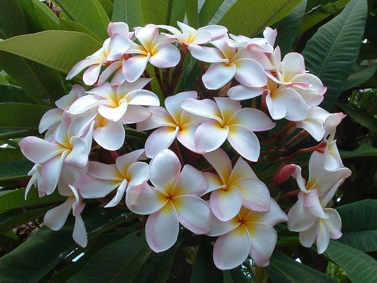 Fiore frangipani