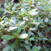 foglie Portulaca