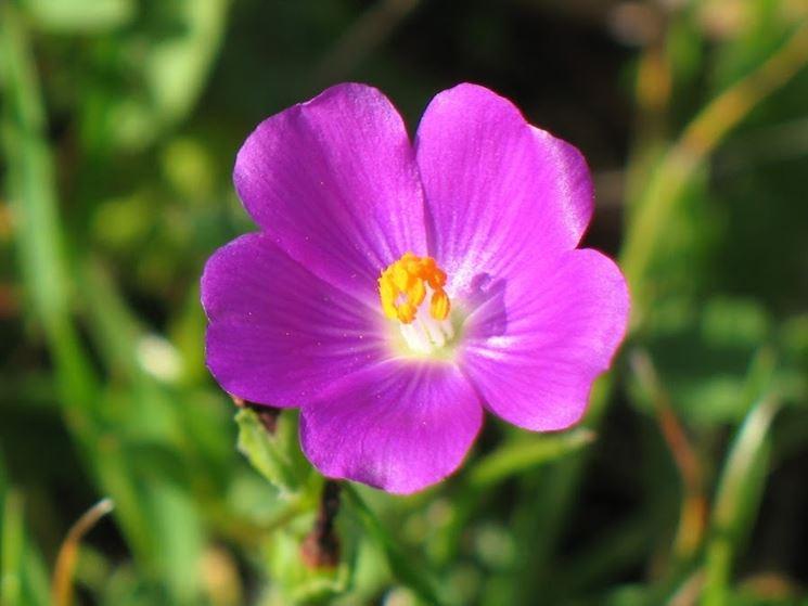 Fiore Potulaca