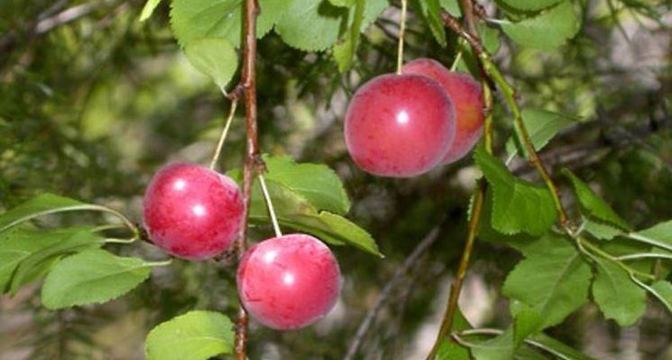 Frutti del prunus cerasifera