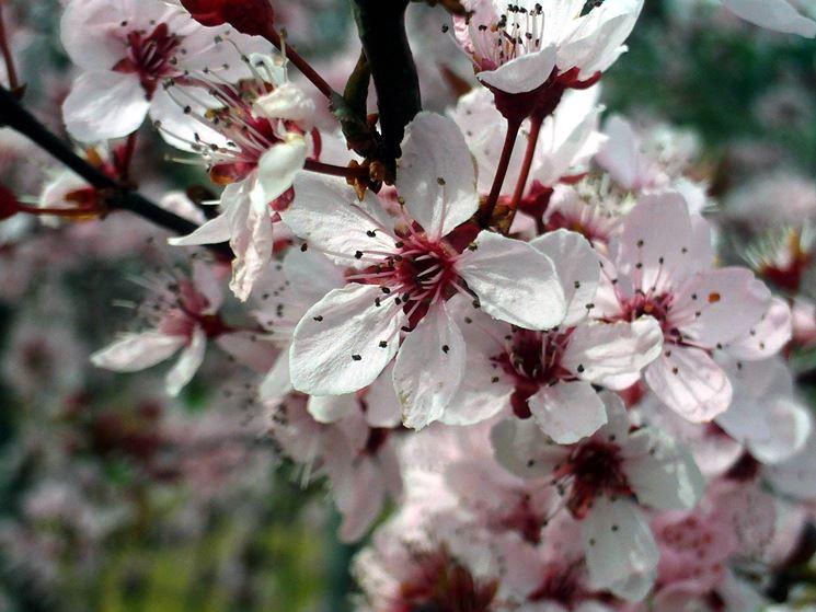 Fiori di prunus cerasifera