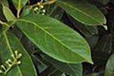 Le foglie del prunus laurocerasus