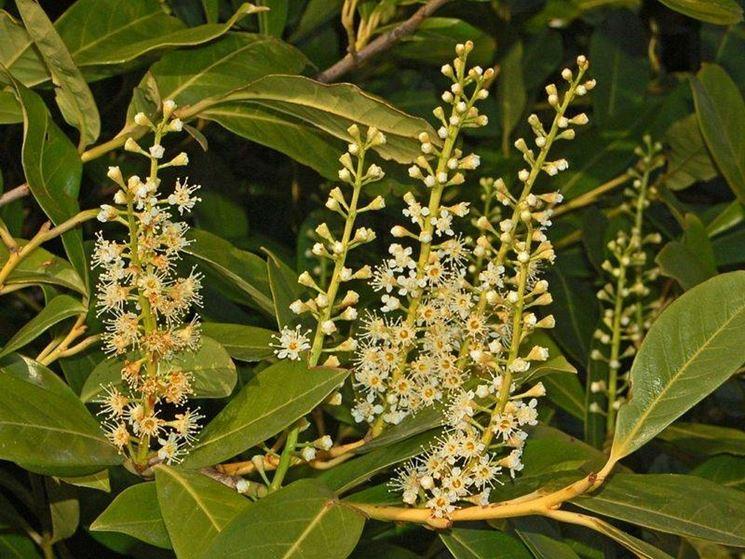 I fiori del prunus laurocerasus