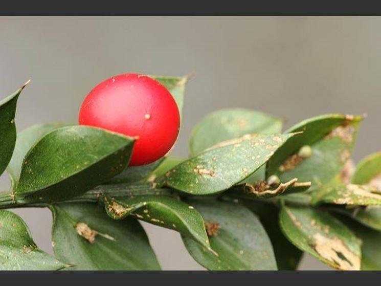 Pungitopo, frutti e foglie
